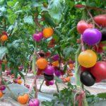 100pcs Rainbow Tomato Seeds Bonsai Garden Vegetable Fruit Plant Seedlings