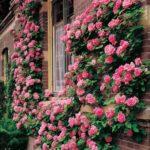 100pcs Climbing Rose Seeds Home Garden Bonsai Flower Plant (Watermelon Red)