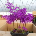 40pcs Purple Maple Seeds Bonsai Plants Tree Pot for Home Garden Decoration