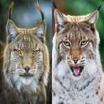 Diamond Painting Cross Stitch Full Picture Embroidery Mosaic (WB017 Lynx 1)
