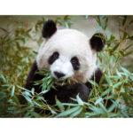 5D DIY Full Drill Diamond Painting Panda Eating Bamboo Cross Stitch Craft